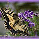 Butterfly found His Flower ... by Nira Dabush