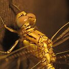 Gold Dragonfly by Toni Kane
