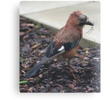 Jay nest building Canvas Print