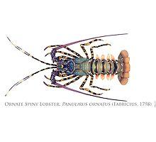 Ornate Spiny Lobster (Panulirus ornatus)  by StickFigureFish