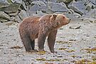 Alaskan Coastal Brown Bear by Graeme  Hyde