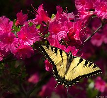 Swallowtail on an Azalia by Mike  Savad