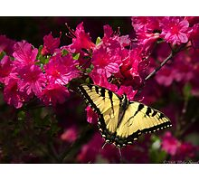 Swallowtail on an Azalia Photographic Print