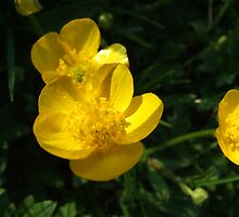 Buttercups by Gemma27