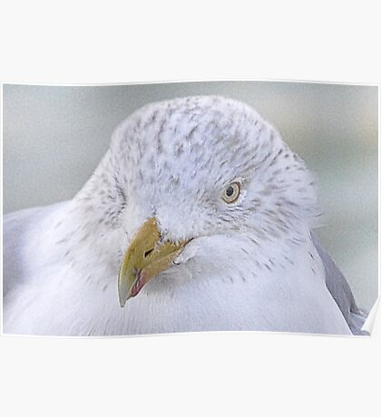 Herring Gull Poster