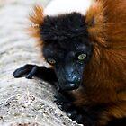 Red Ruff Lemur  by Samantha Coe