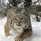 Bobcat by mrshutterbug