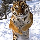 MrShutterbug Wildlife Photography Tigers 2015 by mrshutterbug