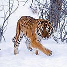 Siberian Tiger 3 by mrshutterbug