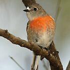 Scarlet Robin (female) by David Cook