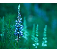 Lupin 2 Photographic Print