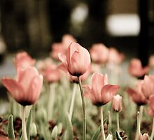 Tulips in Spring by Matt Sillence