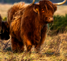 Highland cow and her calf Sticker