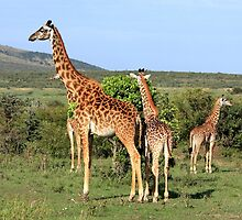 Giraffe Group On The Masai Mara by aidan  moran