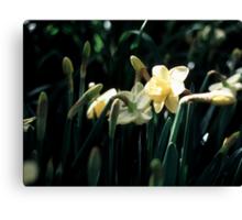 Daffodils 3 Canvas Print
