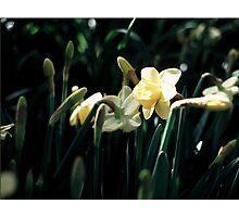 Daffodils 3 Photographic Print
