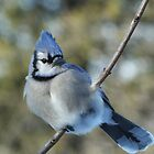 Blue Jay by Tracy Faught
