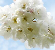Spring Cherry Blossoms by AngelHoney