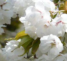 Cherry Blossoms by AngelHoney