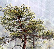 8.1.2015: Pine Tree, Snowfall II by Petri Volanen