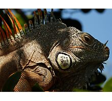 portrait of an iguana III - retrato de iguana Photographic Print