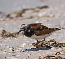Ruddy Turnstone - Florida by Simon Coates