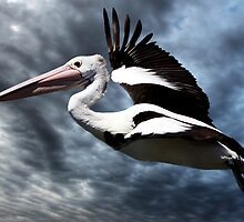 Pelican in Flight by Christopher Meder