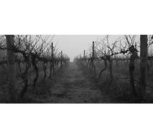 foggy vineyard Photographic Print