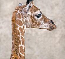 African Prince (Giraffe) by Krys Bailey