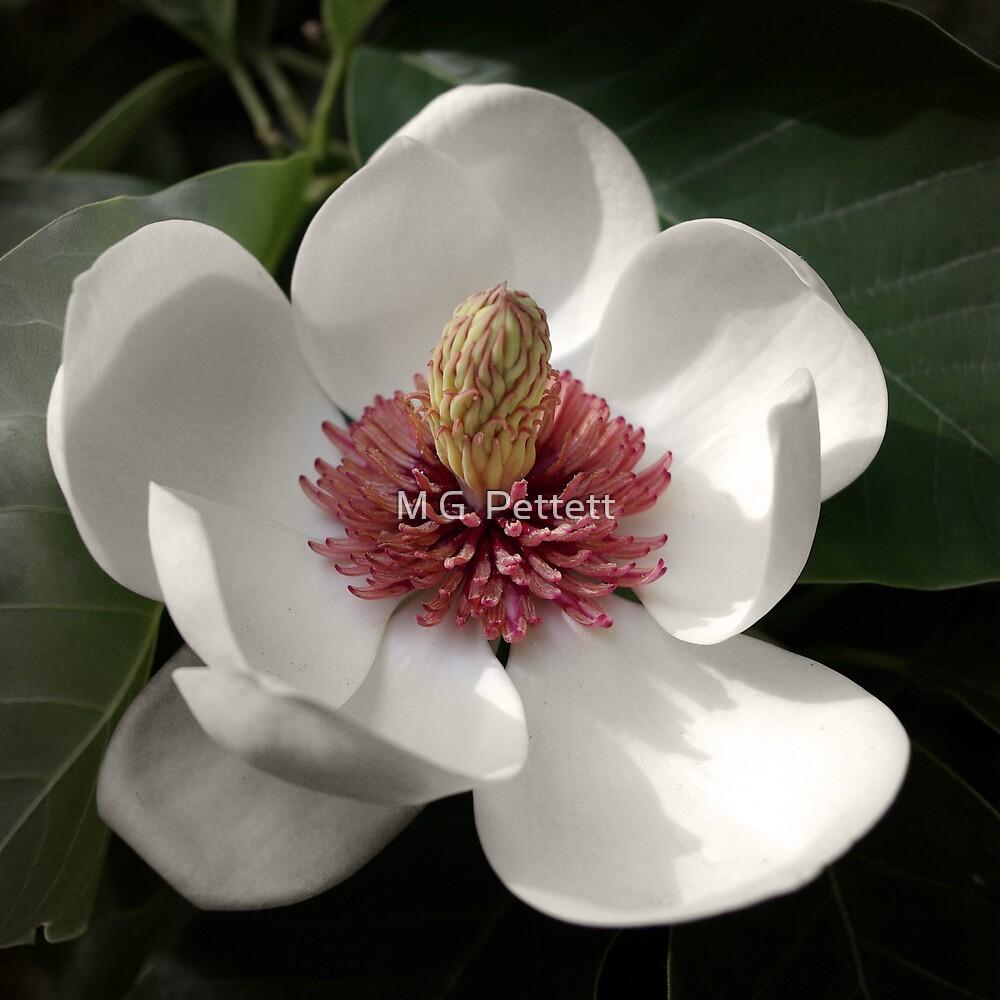 Magnolia by M G  Pettett