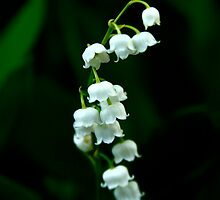 Lily of the Valley by blackjack