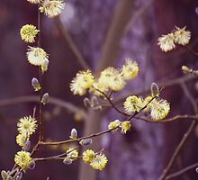 Yellow catkins by Helen White