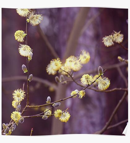 Yellow catkins Poster