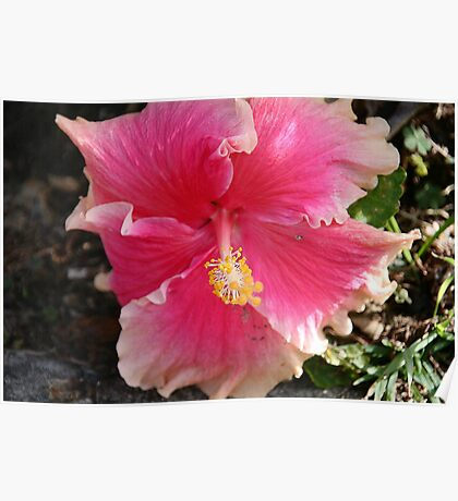Unusual Pink Hibiscus Poster