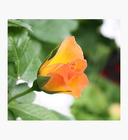 Mini Rose Photographic Print