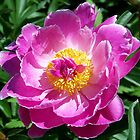 Magnificent Peony by Caren