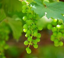Grapevine by jdmphotography