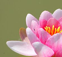 Lily in pink by jdmphotography