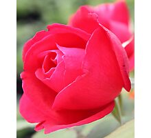 Perfect Red Rose Photographic Print