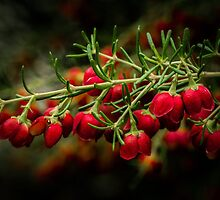 Boronia. by Bette Devine