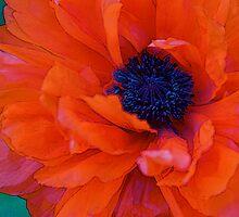 The Poppy by blackjack