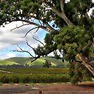 Jacobs Winery, South Australia by aussiedi
