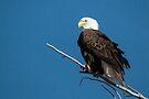 Bald Eagle on branch by Eivor Kuchta