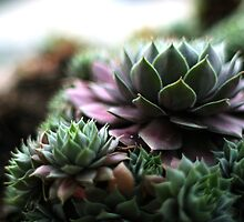 Hens and Chicks by ANJacobsen