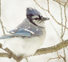 Snowy Blue Jay by lorilee