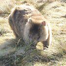 wombat at Ronny's Creek, near Cradle Mt, Tasmania by gaylene