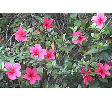 Cheerful Pink Hibiscus Garden Photographic Print