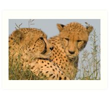 Cheetah brothers basking in the sun Art Print