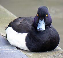 A Tufted Duck by AARDVARK