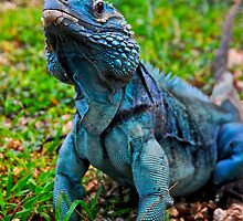 Grand Cayman Blue Iguana [ Cyclura lewisi ] by Shannon Benson